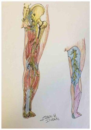 Dolor por ciatica. Dibujo de los musculos de la pierna.