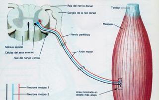 nervios desde la médula que entran dentro del músculo y pueden quedar aplastados en una contractura