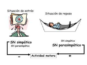 Como actúa el Sistema Nervioso Vegetativo