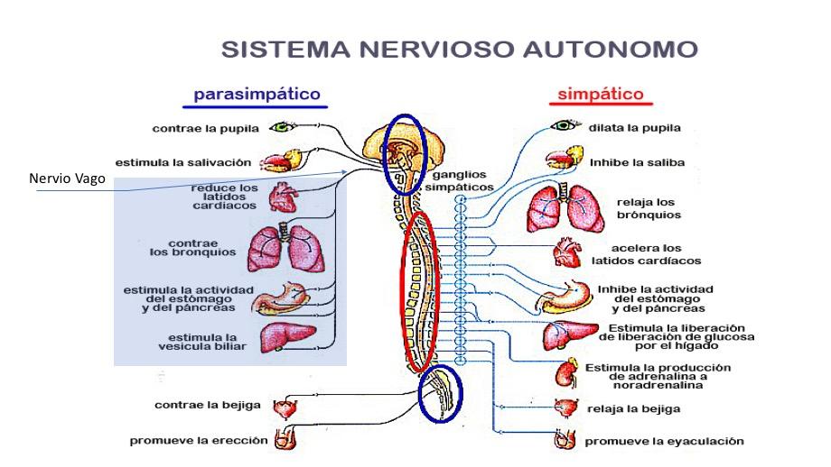 Inervación del sistema Nervioso Vegetativo Simpático y Parasimpático. Dentro del Parasimpático la visceral internadas por el Nervio Vago