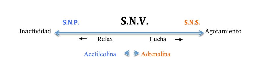 Como funciona el Sistema Nervioso Vegetativo