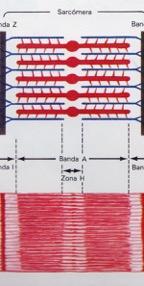 fibras musculares en contracción, superpuestas