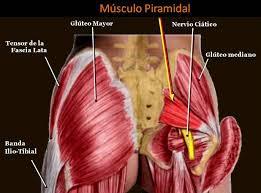 Músculo Piramidal en su vecindad con en nervio Ciático, insertándose en el Trocánter del Fémur