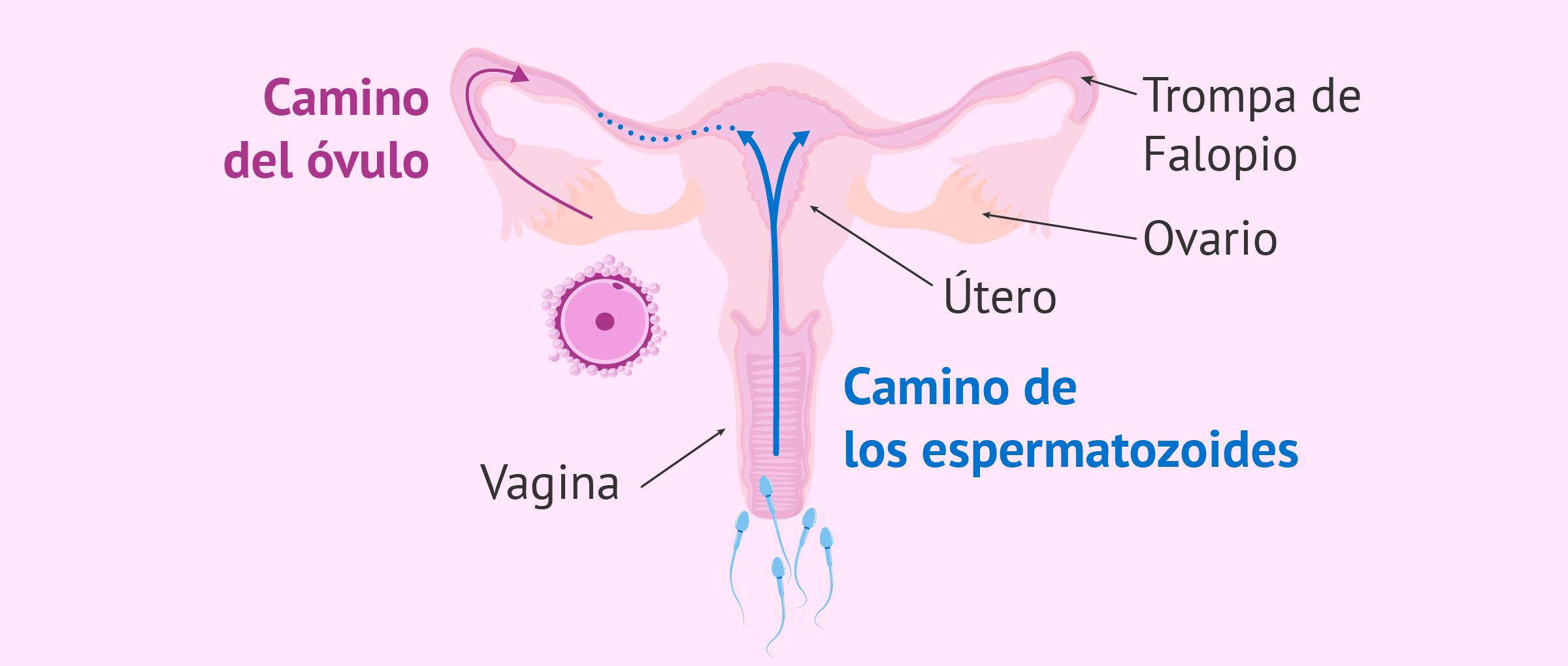 Se puede poner ovulos con la menstruacion
